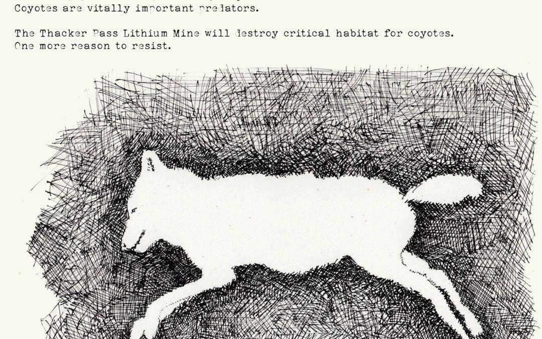 Species of the week: Coyote