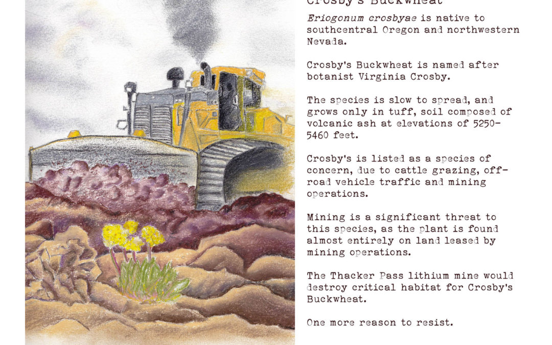 Crosbys Buckwheat Drawing