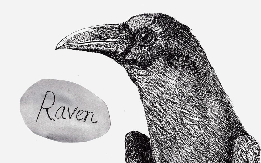 Species of the week: Common Raven