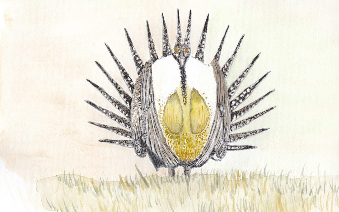 Species of the Week: Greater Sage-grouse