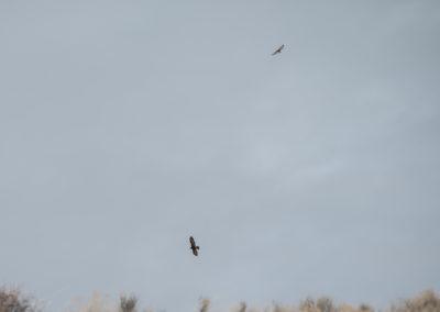 Golden Eagle and Hawk